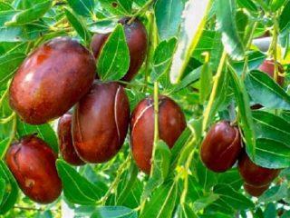 Зизифус (унаби, китайский финик): выращивание и уход, размножение, сорта