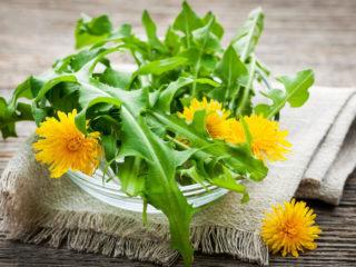 Лечебные свойства одуванчика (листьев, цветов) для организма человека: применение в народной медицине, рецепты настоев, отваров