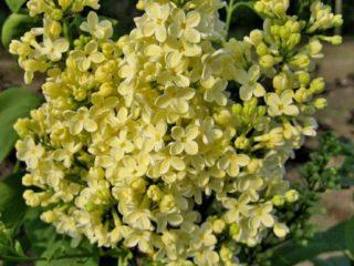 Золотая сирень Примроуз (Прайм Роуз, Primrose): описание