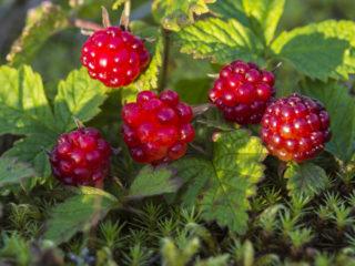 Княженика (садовая, обыкновенная): выращивание и уход