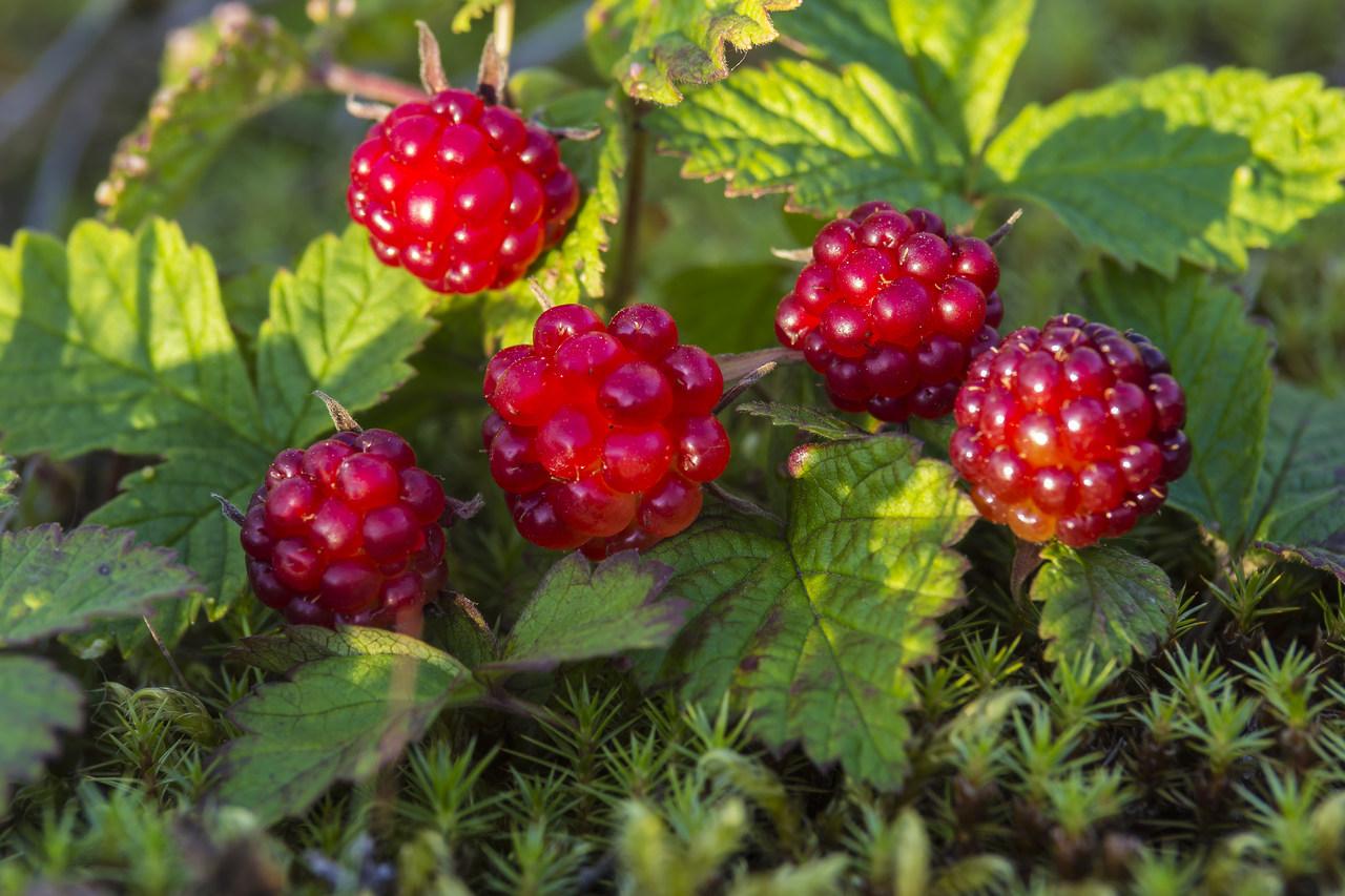 Болотные ягоды названия и фото техника также