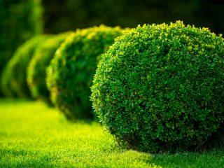 Стрижка самшита весной и осенью