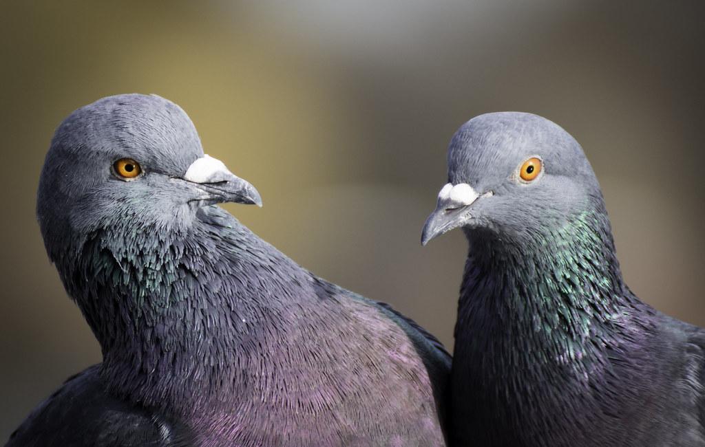 Сизый дикий и городской голубь
