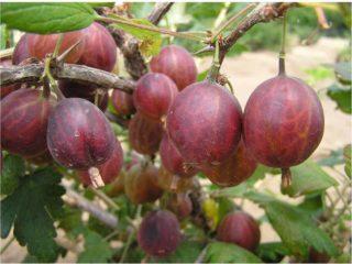 Крыжовник Сириус: описание и характеристика сорта, выращивание
