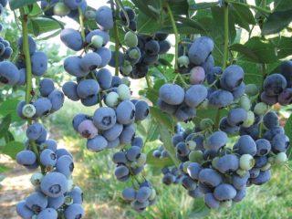Голубика: лучшие сорта для Подмосковья, ранние, урожайные, сладкие, вкусные, низкорослые, самоплодные