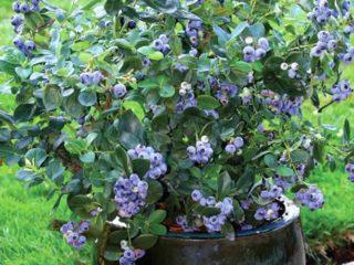 Как сажать голубику весной: пошаговая инструкция и советы бывалых садоводов, особенности выращивания и плодоношения