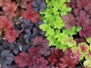 Гейхера: размножение черенками, делением, листьями
