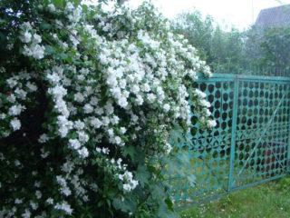 Чубушник: посадка и уход в открытом грунте весной, осенью, фото, болезни, подкормка, пересадка