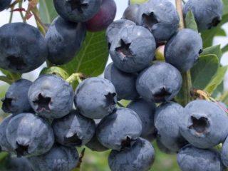 Голубика: когда и где собирать, когда созревает, когда начинает плодоносить