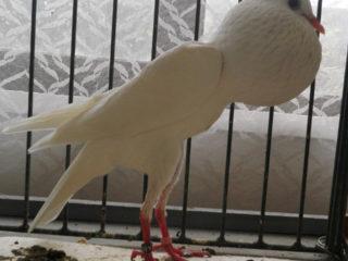 Голубь дутыш: померанский и другие виды