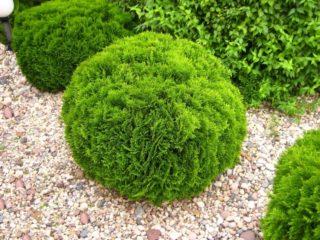 Туя круглая (шаровидная, шариком, шарообразная): фото в ландшафтном дизайне, посадка и уход, стрижка шаром