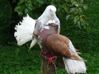 Турецкие голуби такла: видео, разновидности, разведение