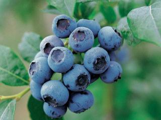 Голубика высокорослая: плодовые и ягодные культуры, особенности выращивания