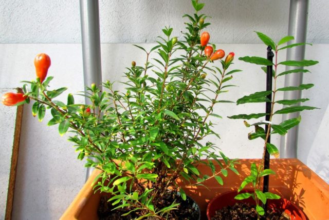 Гранат выращивание из косточки в домашних условиях, фото и видео