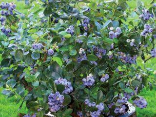 Голубика в Сибири: посадка и уход весной, особенности выращивания