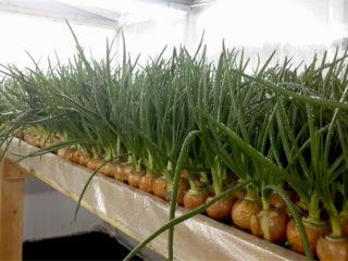 Посадка лука на перо (на зелень) в теплице весной: лучшие сорта, особенности выращивания, урожайность