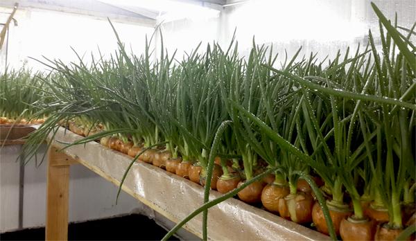 Выгонка лука на перо в теплице и в домашних условиях, фото, выращивание на зелень