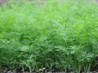 Укроп Салют: отзывы, фото, выращивание на зелень