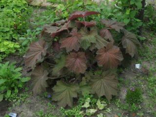 Гейхера из семян: выращивание в домашних условиях