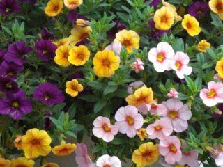 Калибрахоа: выращивание из семян в домашних условиях
