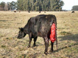 Выпадение матки у коровы до и после отела — профилактика, лечение