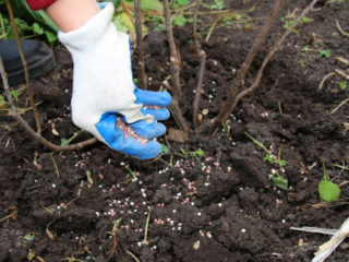 Чем подкормить крыжовник после сбора урожая, весной, летом, осенью, схема и сроки подкормки минеральными удобрениями, народными средствами