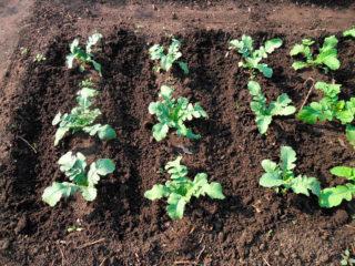 Как и когда сажать репу в открытый грунт семенами