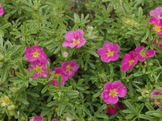 Лапчатка кустарниковая Белиссимо: описание и отзывы