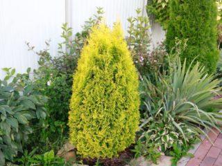 Туя Голден Смарагд (Golden Smaragd): фото в ландшафтном дизайне