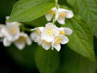 Почему чубушник (садовый жасмин) не цветет и что делать