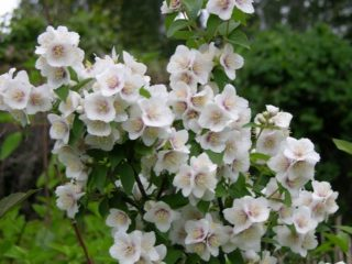 Чубушник (жасмин) садовый Бель Этуаль (Belle Etoile): фото и описание, отзывы