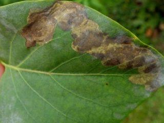 Болезни сирени: листьев, ствола, чем лечить