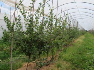 Крыжовник на штамбе: фото, отзывы, правила выращивания