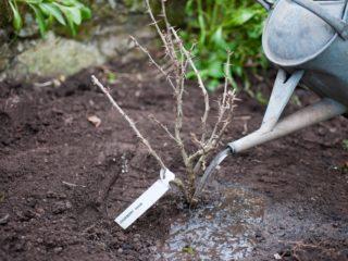 Посадка крыжовника осенью: когда и как посадить