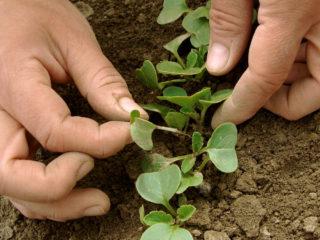 Редис: посадка и уход в открытом грунте, сроки посева в марте, в апреле, секреты выращивания, схема посадки
