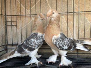 Домашние голуби: породы с фото