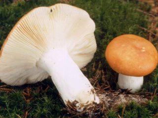 Сереющая сыроежка: описание гриба, фото