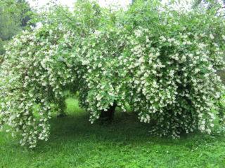 Чубушник (садовый жасмин): фото и описание кустарника, виды, размеры, характеристика, применение