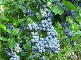Подкормка голубики садовой весной, летом, осенью: виды удобрений и правила внесения