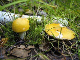 Сыроежка желтая: съедобная или нет, фото