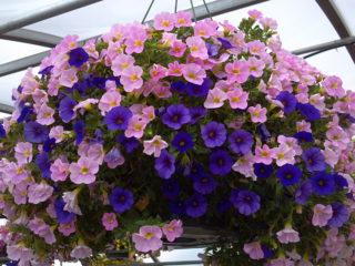 Калиброхия: особенности, выращивание и уход