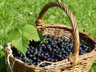 Смородина черная: польза и вред для здоровья, калорийность