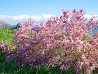 Кустарник тамариск (тамарикс, бисерник): посадка и уход, фото, размножение, цветение, выращивание, лечебные свойства