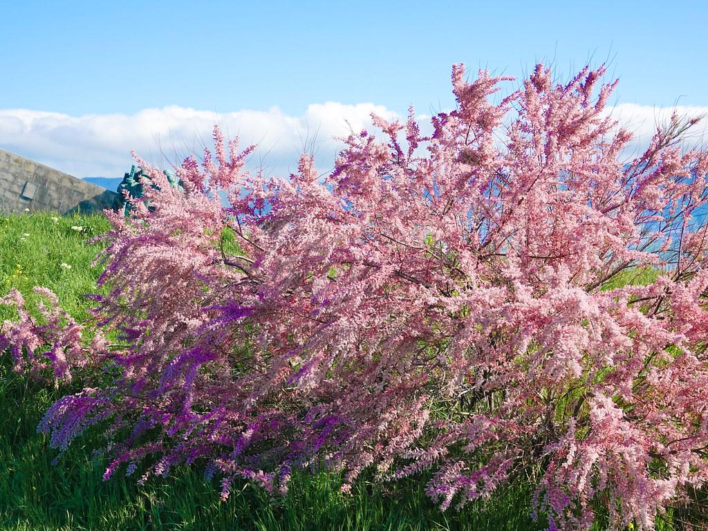 примеру, тамарикс фото выращивание и уход рекомендуется