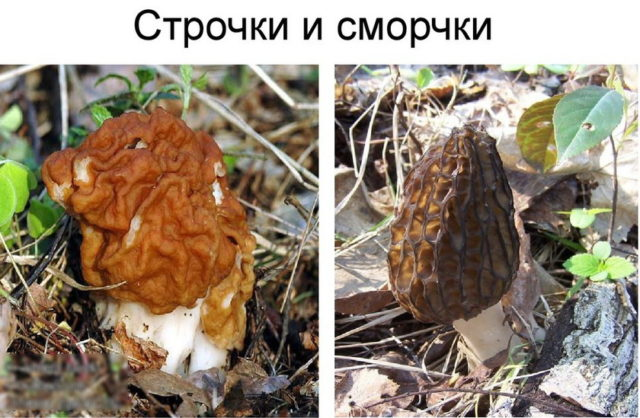 Грибы сморчки фото, как выглядят, где растут, когда собирать, отравление