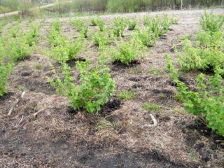 Когда и как сажать крыжовник весной, летом: пошаговая инструкция, сроки, схема, особенности плодоношения