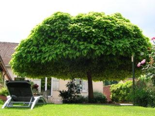 Катальпа: фото и описание, отзывы, как быстро растет, уход в открытом грунте