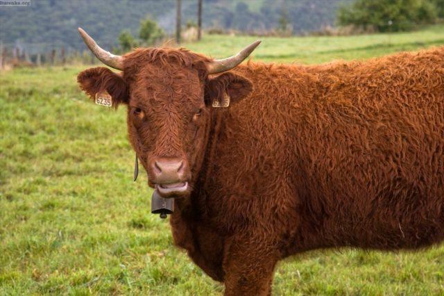 Как правильно выбрать теленка при покупке на откорм, молочной породы