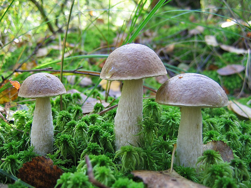 Как обработать грибы подберезовики