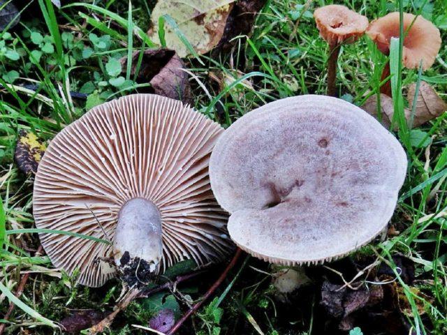 Серушки грибы засолка